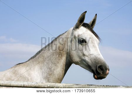 Beautiful peaceful young shagya arabian horse looking over the corral fence