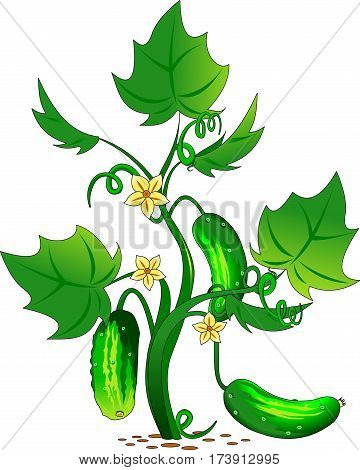 Vector - cucumber vegetable character on white background