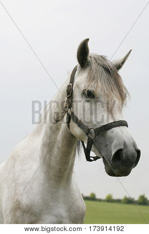 Portrait of a young grey colored stallion on pasture at animal farm