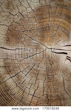 Closeup of old worn weathered section of wood with cracked rings pattern.