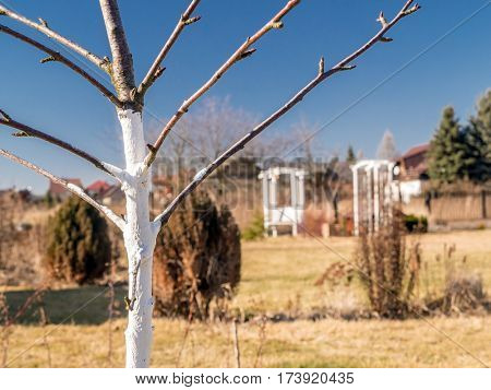 Whitewashed young fruit tree growing in the garden