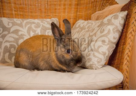 red rabbit on the chair, rattan chair, wicker furniture. image of a cute red bunny , symbol of easter