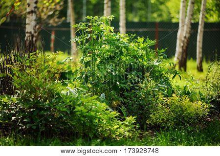 mixed perennial border with hostas spirea delphinium and Stachys in summer garden