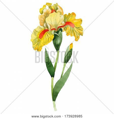 Wildflower iris flower in a watercolor style isolated. Full name of the plant: orange iris. Aquarelle wild flower for background, texture, wrapper pattern, frame or border.