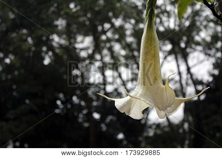 White Brugmansia candida in Machu Picchu, Peru