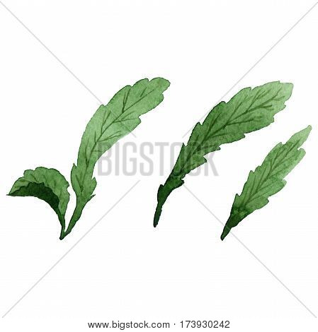 Wildflower chamomile flower leaf in a watercolor style isolated. Full name of the plant: white chamomile leaf. Aquarelle wild flower for background, texture, wrapper pattern, frame or border.