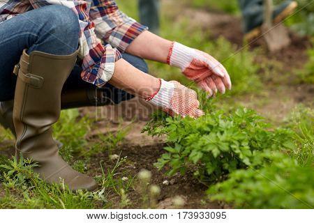 farming, gardening, agriculture and people concept - senior woman weeding parsley on garden bed at summer farm