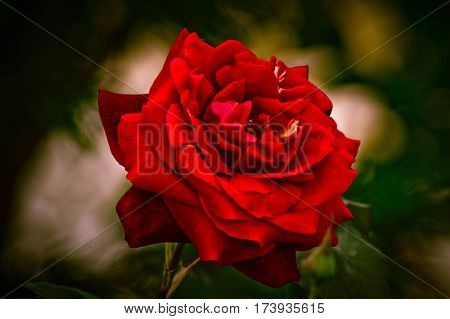 Remembering to a beautiful special and red rose
