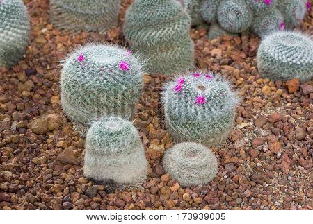 Pincushion Cactus Plant With Pink Flower Decoration In The Garden