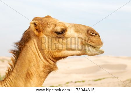 In Oman Free Dromedary Near The  Sky