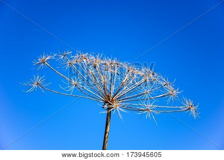 Bright plant infructescence by a blue sky