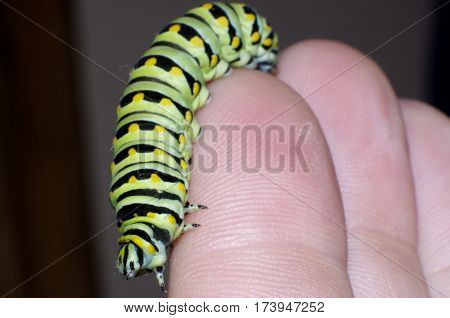 close up of Monarch caterpillar on fingers