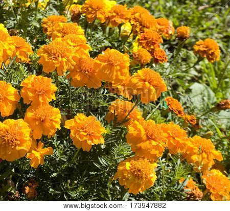 Flowerbed with orange marigolds flowers close vertical.