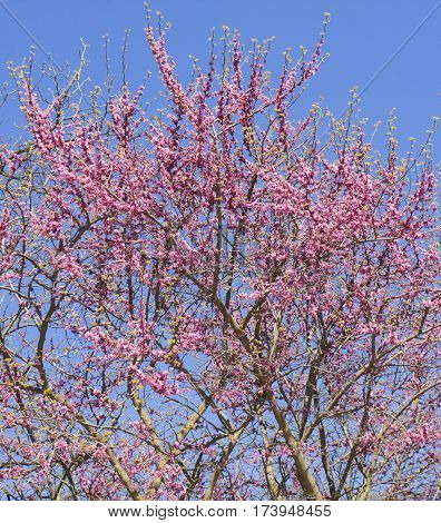 Branches of cercis tree in blossom Saints Constantine and Helen resort Bulgaria.