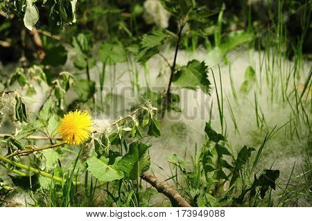 Detail of spring grass with pollen and yellow dandelion