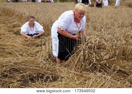 TRNOVEC, CROATIA - JULY 09, 2016: Peasant woman harvesting wheat with scythe in wheat fields in Trnovec, Croatia on July 09, 2016