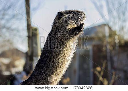 animal, mammal, nutria rat rodent brown close-up