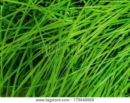 Beautiful green grass. Grass background. Green grass texture