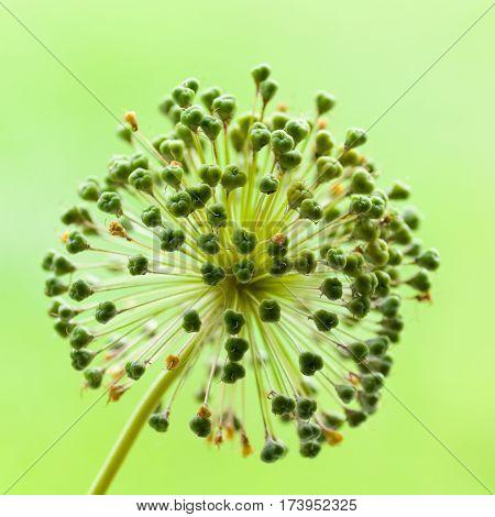 Lovely Alium seed head in green like an exploding firework