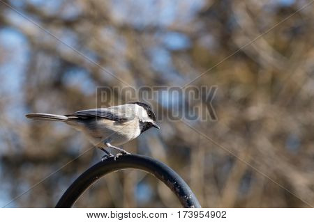 A small bird perched atop a shepherds hook seems to have his curiousity peeked. The details of the bird stands out nicely against the blurred sky and tree limbs backdrop.