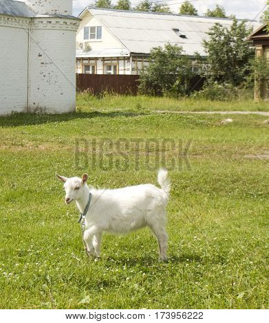 Little white goat in the village on meadow houses around.