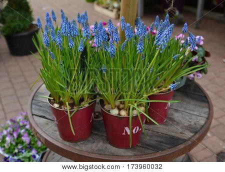 Muscari-fragil spring purple flowers in the pots.