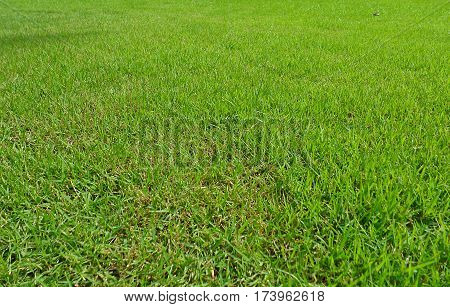 Lawn grass greensward courtyard,field, grass, green, ground.