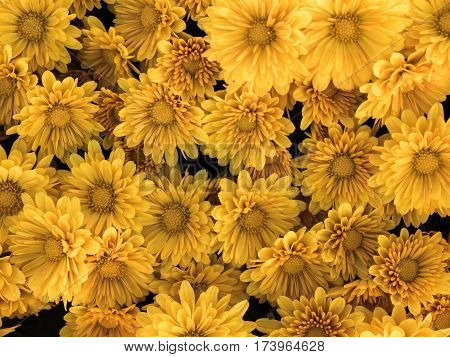 close up Background from yellow Gerbera flower