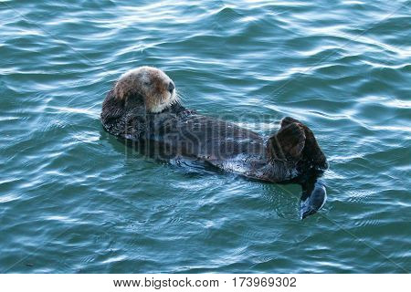 California Sea Otter on the Central California Coast - United States
