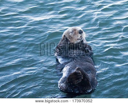 California Sea Otter casually floating in Morro Bay on the Central California Coast USA
