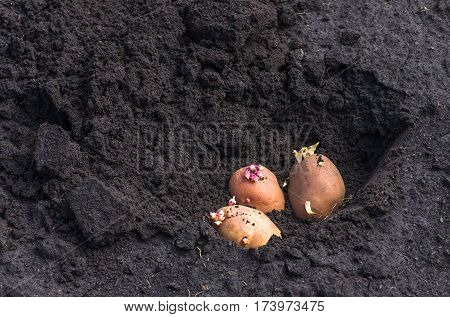 potato on the ground planting sprouted tubers spring agrarian background