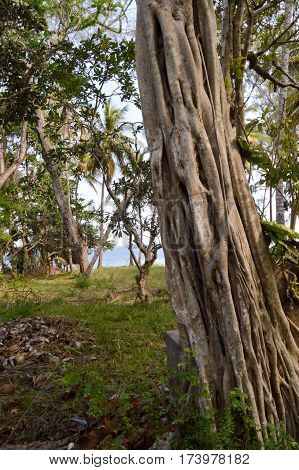 Trunk of a strangler fig in a park with the Indian Ocean in Kenya in Africa