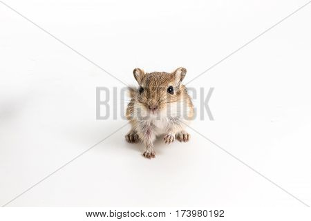 Litter Mongolian Gerbil, Desert Rat