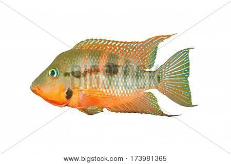 Mexican Fire Mouth (Thorichthys meeki) - male isolated