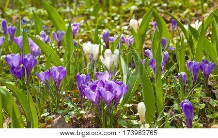 Many purple and white crocuses on ground.