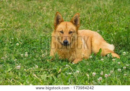 Chestnut mixed breed dog lying in summer grasses