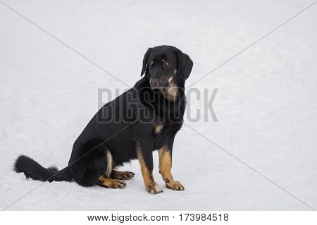 Portrait of mixed breed black stray dog sitting lonely on a winter street