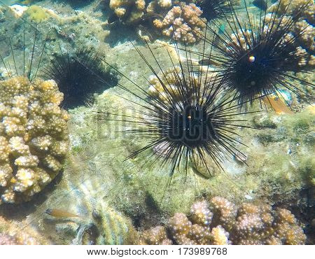 Tropical sea urchin on sand sea bottom. Coral reef life. Tropical sea life ecosystem. Snorkeling photo of dangerous urchin with long needles. Black urchin in yellow sunlight. Tropical seashore danger