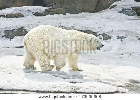 White polar bear walking on snow horizontal.