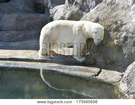 White polar bear near water with reflection.