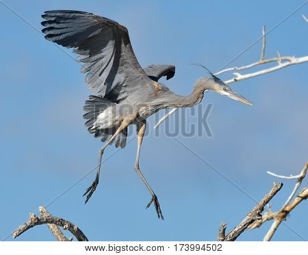 Great Blue Herons are large birds with wingspans up to six feet.