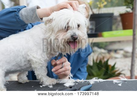 Side view of cutting a white dog standing on the grooming table and looking at the camera. All potential trademarks are removed. Horizontally.