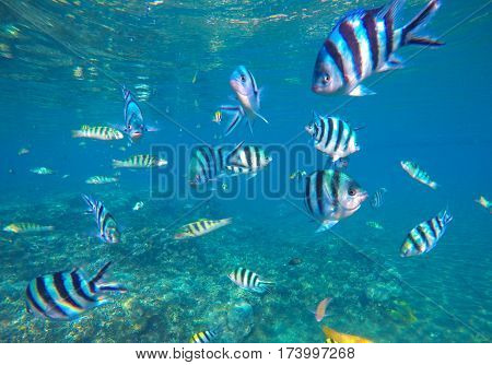 Underwater photo with dascillus tropical fish in blue water. Exotic lagoon with ocean life. Coral reef ecosystem. Colorful aquarium fish. Black and silver striped dascillus fish swimming in sea water