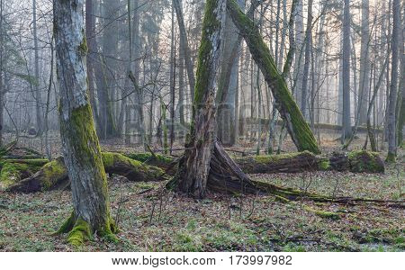 Old hornbeam trees of natural stand in mist with broken ones in foreground, Bialowieza Forest, Poland, Europe