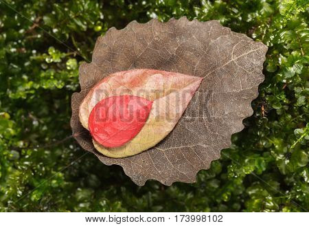 Fall Abscised Leaves Variety