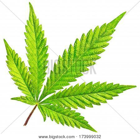 Marijuana five tip cannabis leaf in color and isolated on white background. Front lit and fully illuminated this beautiful green marijuana leaf is pure vitality.