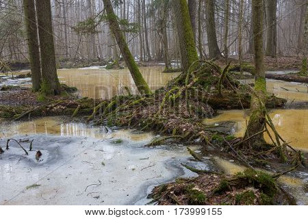 Moss wrapped tree parts over melting snow in early spring, Bialowieza Forest, Poland, Europe
