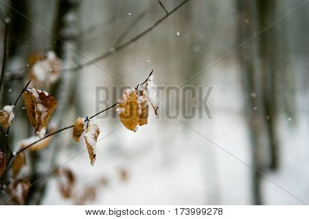 Snow Covered Leaves In A Forest