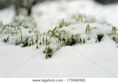 Snowdrops Covered In Snow