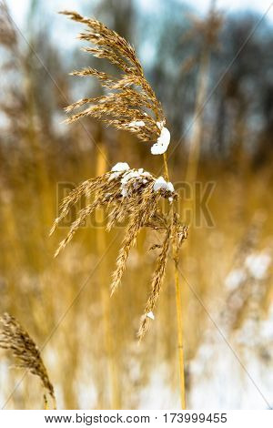Single Reed Plume With Snow